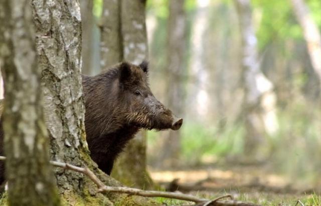 У Німеччині кабани влаштували полювання на людей: збивали з ніг і відкушували пальці
