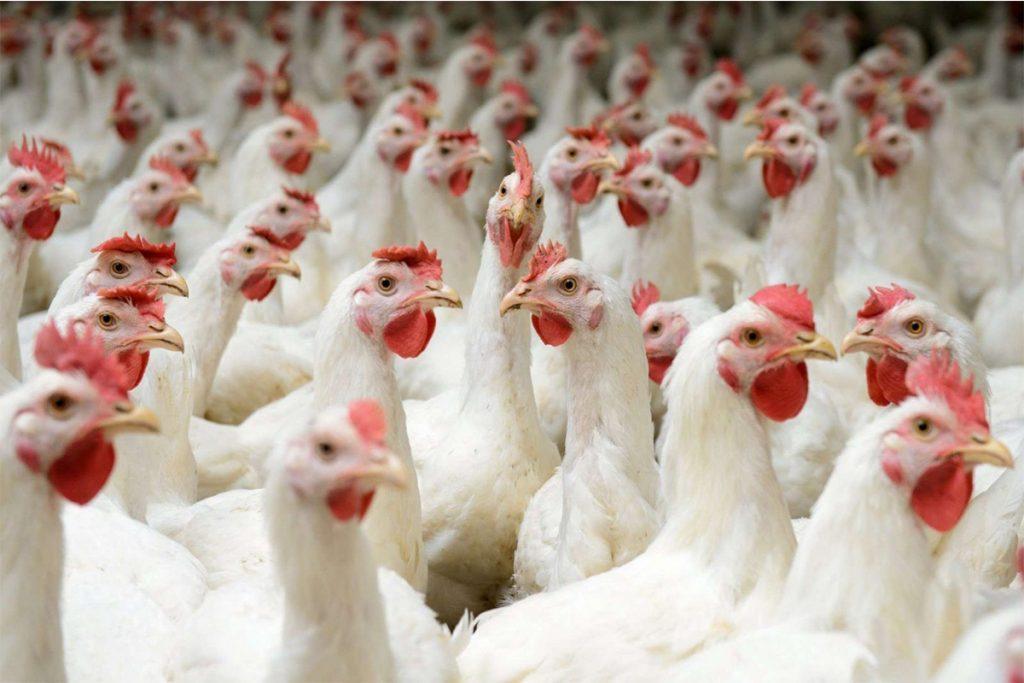 Україна стала третім найбільшим постачальником м'яса птиці в країни ЄС – Євростат