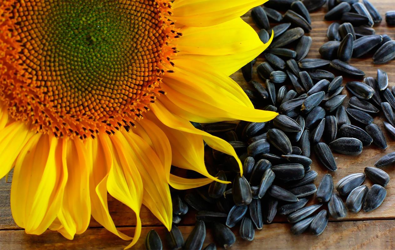 В Україні – рекордний врожай олійних, – USDA