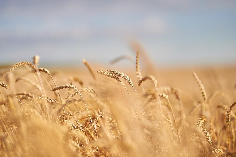 Нацбанк знизив прогноз врожаю зернових до 67 млн  т