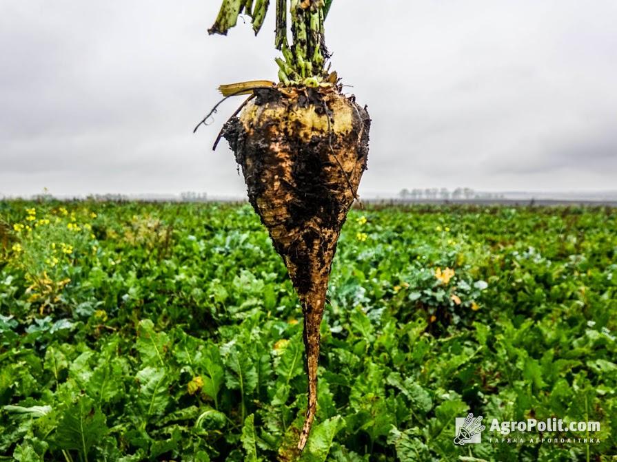 Для підтримки цукрової галузі пропонують запровадити дотацію на гектар посівів