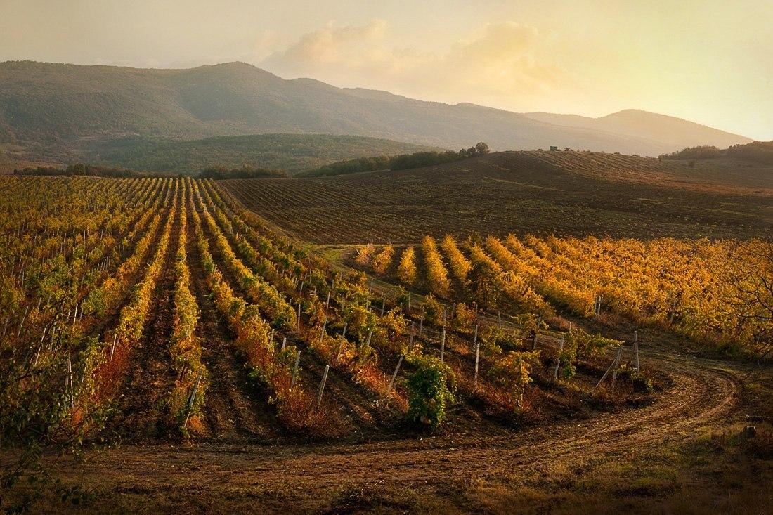кримські виноградники